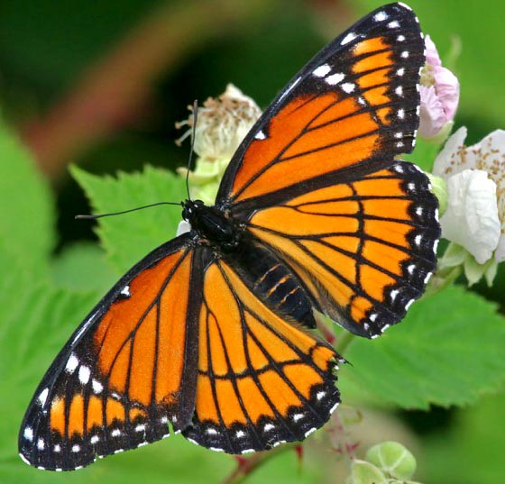 Butterfly - photo#25