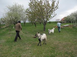 hosszúhetényi kolostor - kecskék