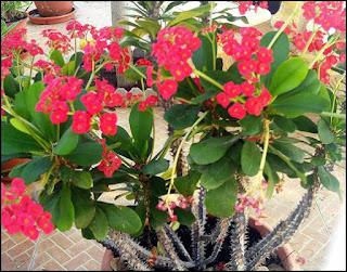 tanaman hias euphorbia