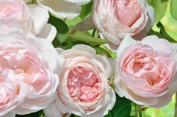 Питомник саженцев роз в минске