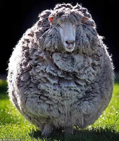 http://2.bp.blogspot.com/-CBlWOQ-ZpOg/TkrkkSsyyyI/AAAAAAAACVY/nTpoTYCT7eo/s1600/Funny+sheep+pictures+3.jpg