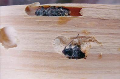 Mosquitos carcoma for Carcoma de la madera