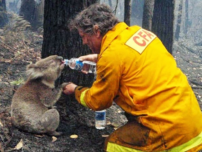 #13. A  thirsty koala was given some water by this kind firefighter after a blazing brushfire in Australia. - 24 Happy Animal Photos Made Possible By The People Who Saved Them.
