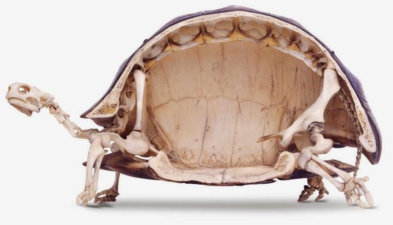 Esqueleto de tortuga