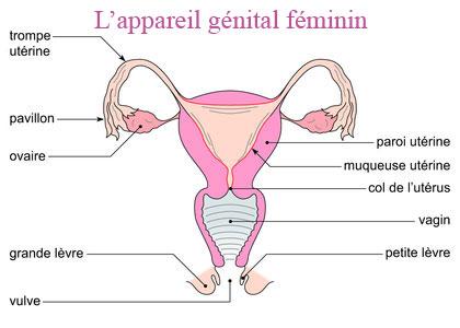 Avoir un bébé: Le système reproducteur féminin