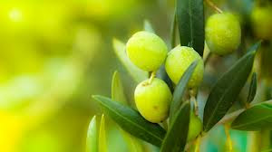 Efficacy Olive Leaf, from antioxidants to Kill Germs