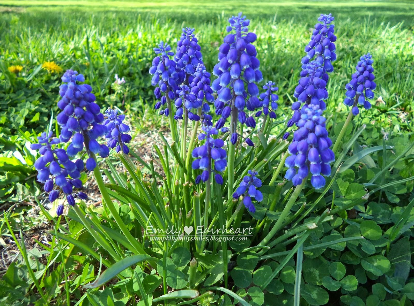 A group of Grape Hyacinths