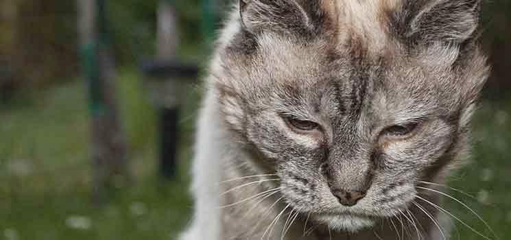 Kucing tua keletihan
