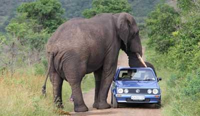 Gajah Vs Mobil