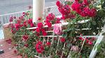 Rosas a lo largo de la barandilla