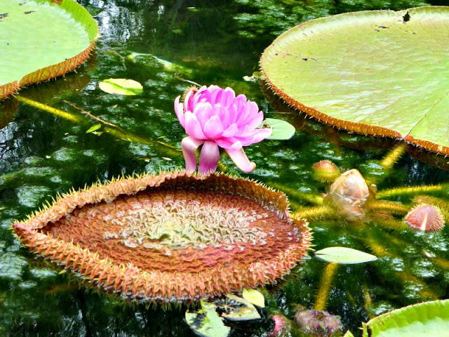 amazon-water-lily
