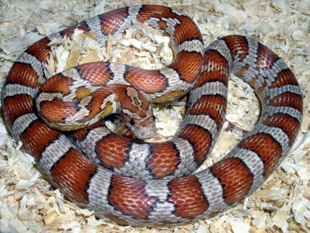Corn Snake web