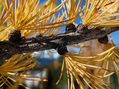 Larch Branch on Carne Mountain