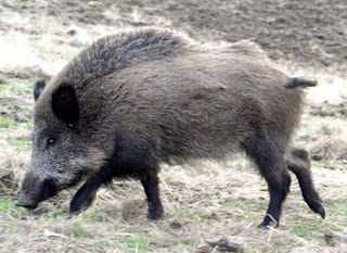 Gambar Ilustrasi Babi Hutan