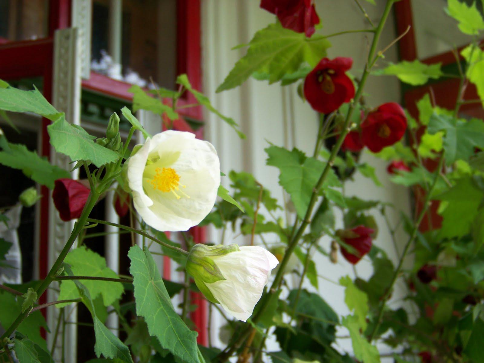 magic garden abutilon artar de camera alb si rosu. Black Bedroom Furniture Sets. Home Design Ideas