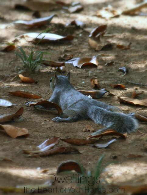backyard squirrel