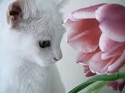 Tulip fascination