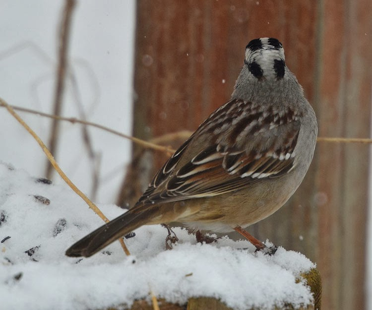 The contrast between the white and black feathers on a White-crowned Sparrow are striking. The cross on the back of his head is a tell-tale sign that his is a White-crowned and not a White-throated Sparrow.