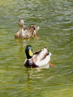 Ducks at Fish Canyon Falls, Angeles National Forest