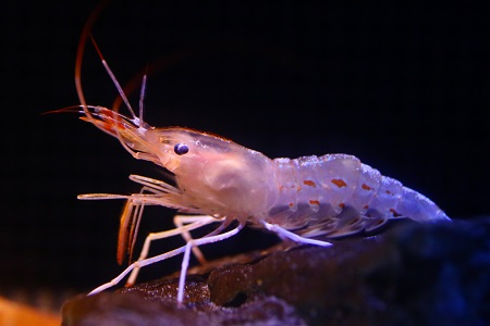 Pandalus nipponensis