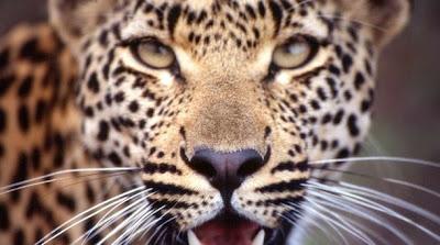 Foto Leopardo