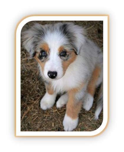 Cute Aussie Puppies images