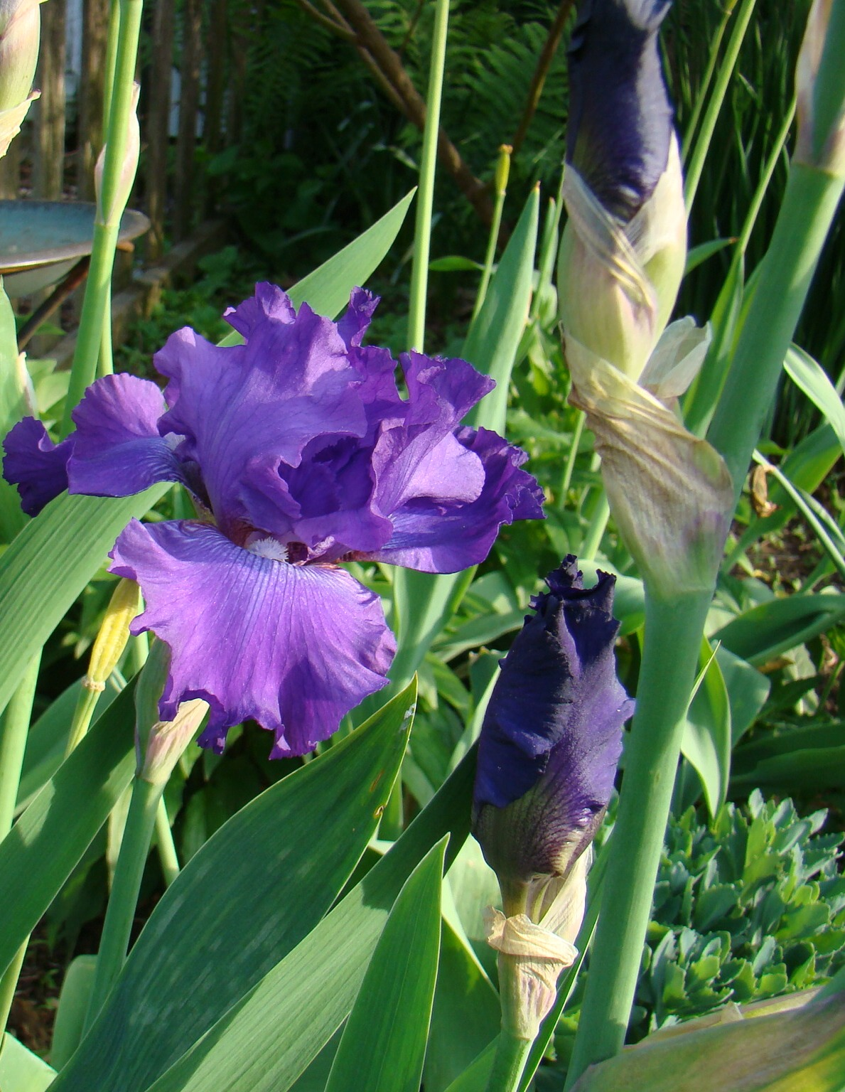 This free picture by David P. Offutt the Gastronomic Gardener in his midwest garden shows a closeup of a pretty blue iris