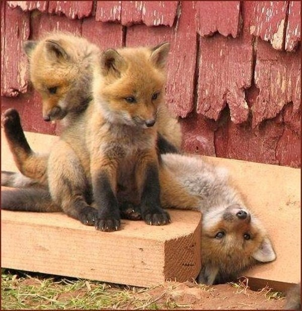 funny animals, animal pictures, three little fox