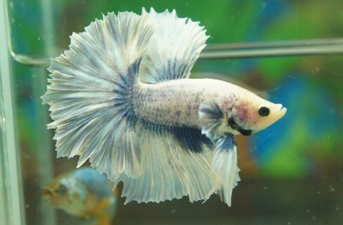 Images Betta fish Halfmoon Blue and White Marble