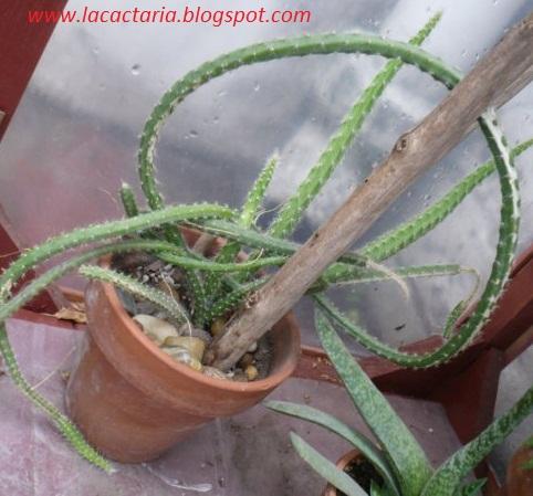 el riego y los cactus | la cactaria