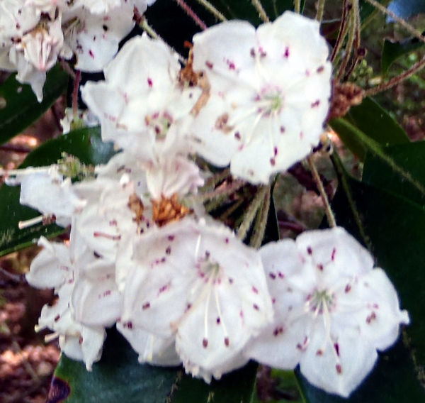 mountain laurel by dearmissmermaid.com