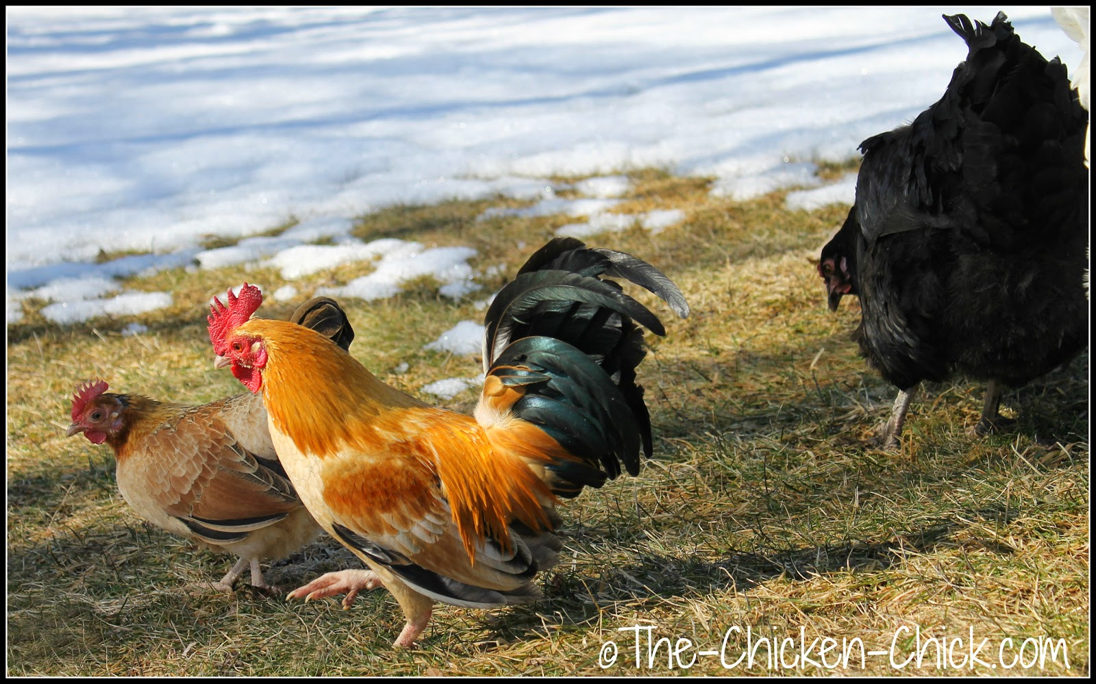 Keeping chickens in crowding conditions is to be avoided due to the dangers it poses. Chickens explore their world with their beaks and the closer they are in proximity to one another, the more likely they are to explore one another by pecking.