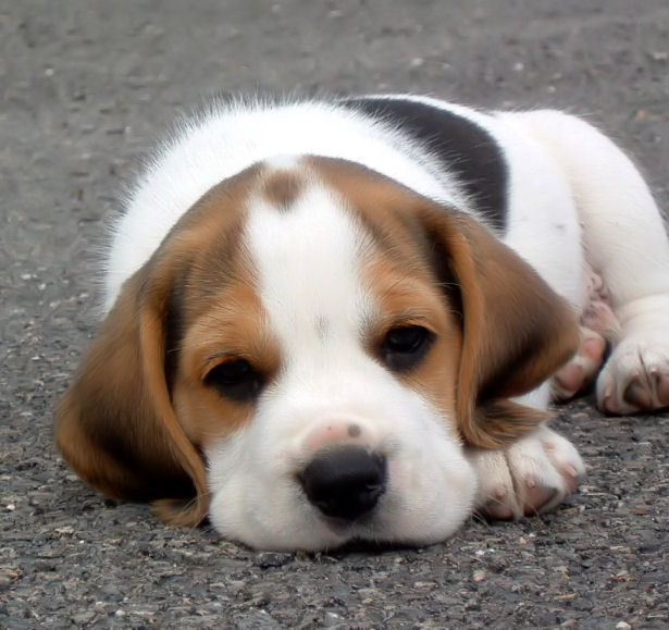Beagle Dogs Pets Cute And Docile