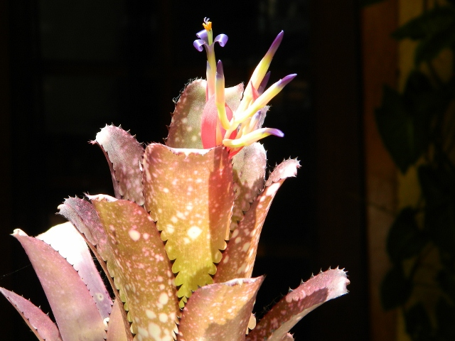 Billbergia Gatecrasher