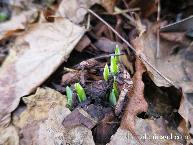Galanthus nivalis, подснежники, галантусы, первоцветы, первые цветы, листья, цветы, аленин сад