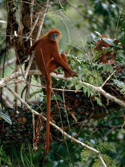 Red Leaf Monkeys-Amazing-Monkeys-Funny-monkeys-Strange-Monkeys-National Geographic-Wild animals