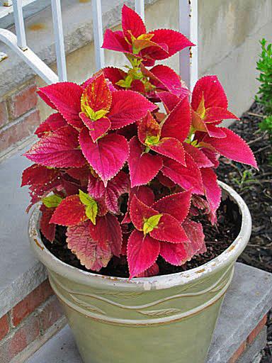 coleus defiance plant identification pinterest