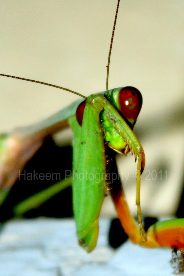 Shy | praying mantis (Mantis religiosa)