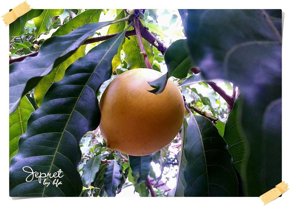 buah abiu masak