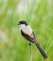 Membedakan Burung Cendet Jantan Dan Betina