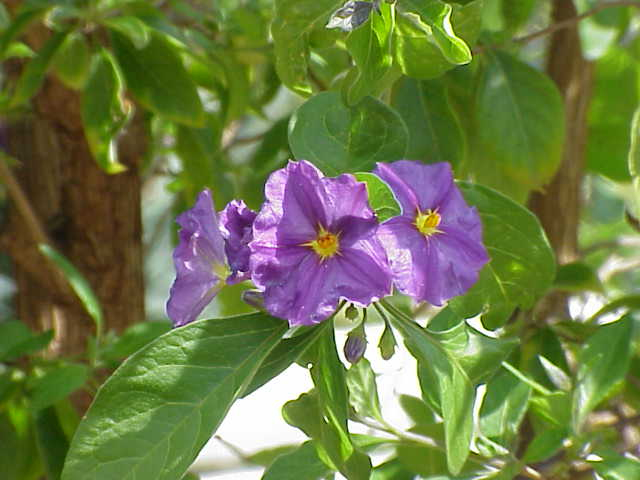 Piante e fiori solanum il ciliegio d 39 inverno for Pianta solanum