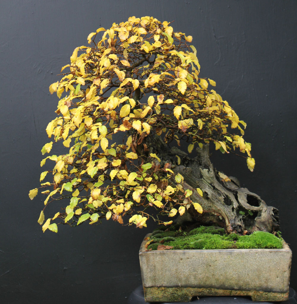 Wildwoodbonsai Development Of An English Elm