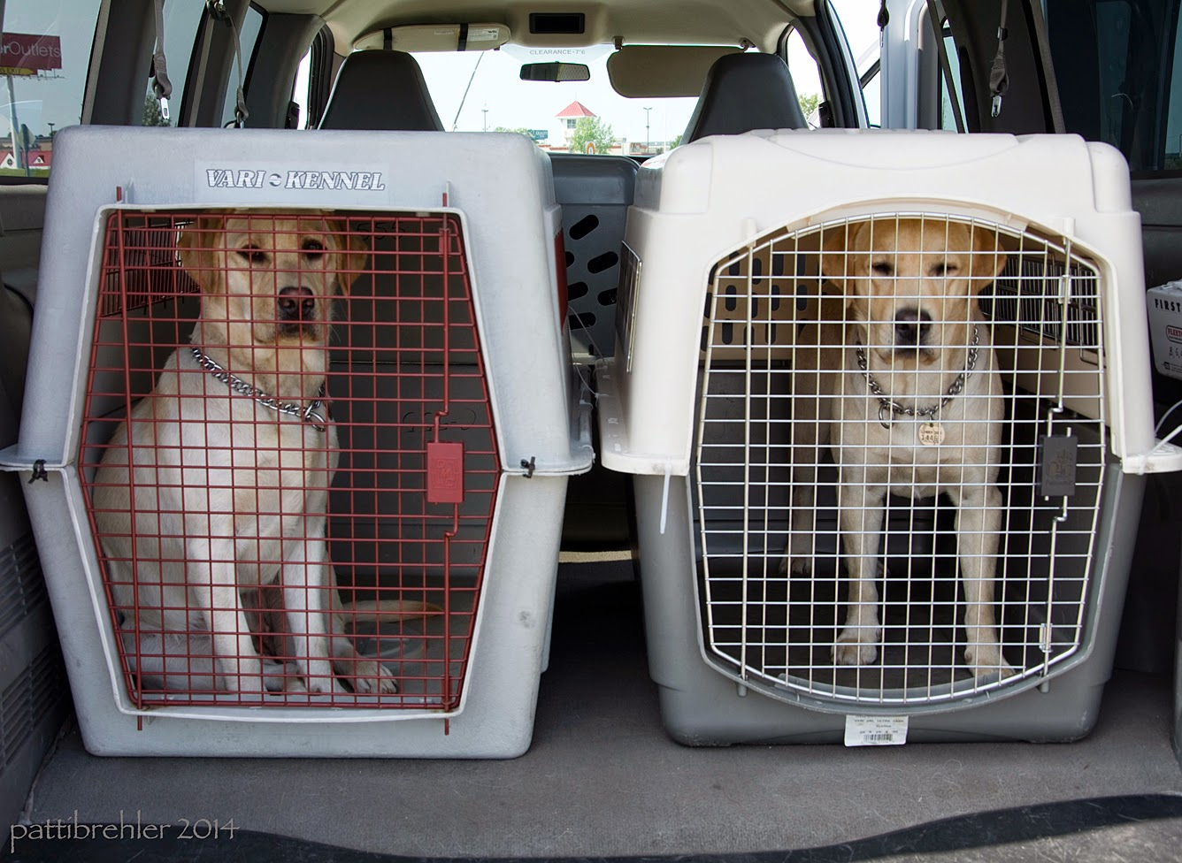 Two airline crates in the back of a van hold two yellow labs. The lab on the left is sitting down, the lab on the right is standing. Both are looking at the camera.