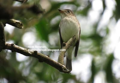 Asian Brown Flycatcher in Bidadari