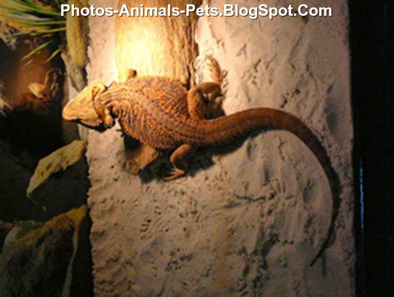 red bearded dragon  - Photos red bearded dragon  - bearded dragon