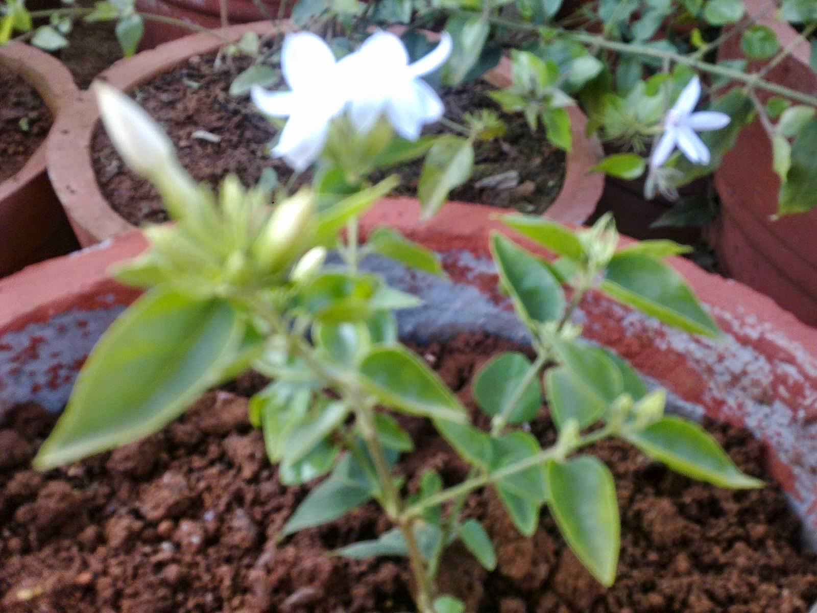 Plants growing in my potted garden the scent of sweet jasmines2 night blooming jasmine thought the fragrance of it is unbeatable at times you may just get a headache its that overpowering when in bloomalso this plant is izmirmasajfo