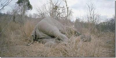 gajah-mati