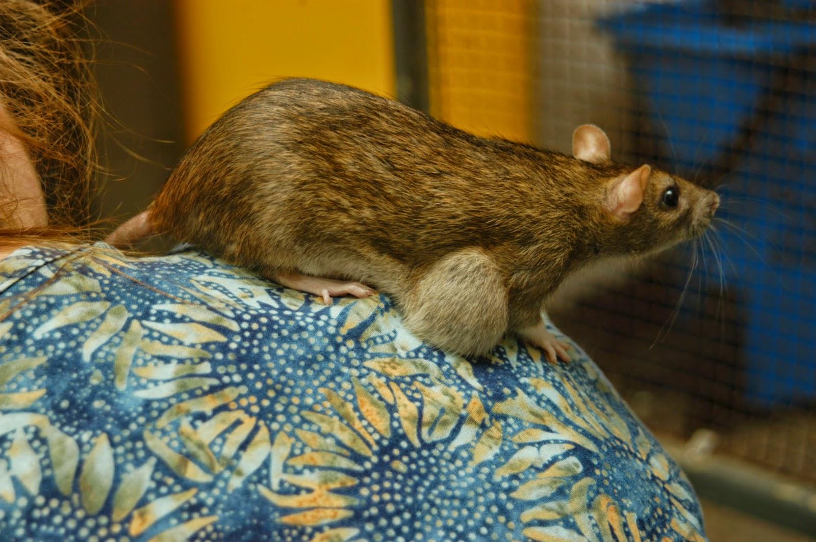 rat lump tumour