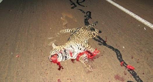 475 milhões de animais silvestres são mortos por ano nas estradas brasileiras