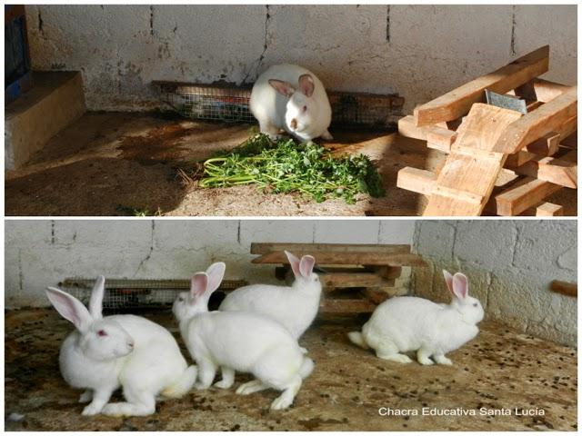 Conejos en la conejera - Chacra Educativa Santa Lucía